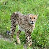 Cheetah. S predator animals Royalty Free Stock Photo