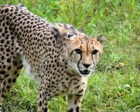 Cheetah. S predator animals Stock Photo
