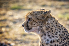 Cheetah. A chetah catched in a Namibian reserve Royalty Free Stock Images