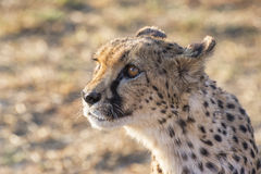 Cheetah. A chetah catched in a Namibian reserve Stock Images