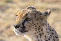 Cheetah. A chetah catched in a Namibian reserve Stock Photo