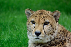 Cheetah. Chetah sitting in the grass and waiting for food Royalty Free Stock Images