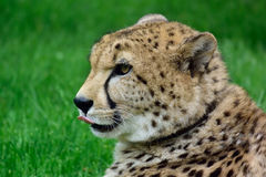 Cheetah. Chetah sitting in the grass and waiting for food Stock Image