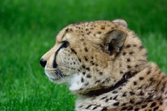 Cheetah. Chetah sitting in the grass and waiting for food Stock Photography