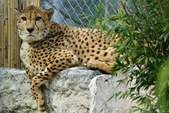 Cheetah. Chetah sitting on the wall and waiting for food Stock Images