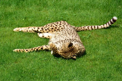 Cheetah. Chetah sleeping in green grass Stock Photography