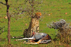 A Cheetah Claiming his prize. A Cheetah proudly stares out claiming his prize kill, the antelope Stock Photography