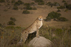 Cheetah classic Stock Image