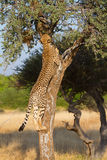 Cheetah climb Royalty Free Stock Photography