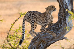 Cheetah climbing tree Royalty Free Stock Photography