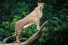 Cheetah. During climbing on the tree with nice background stock photos