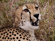 Cheetah close-up Royalty Free Stock Images