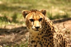 Cheetah Close-up Royalty Free Stock Photos