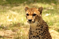 Cheetah Close-up Stock Photography