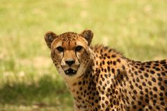 Cheetah Close-up Royalty Free Stock Image
