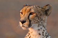 Cheetah close up Stock Image