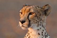 Cheetah close up. A close up of a cheetah's head Stock Image