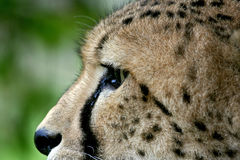 Cheetah close up Royalty Free Stock Photo