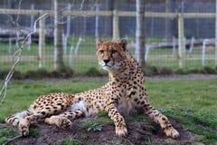 Cheetah 5 Royalty Free Stock Photo