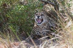 Cheetah - close-up Stock Photos