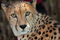 Cheetah. Close up face portrait of wild cheetah Stock Photography