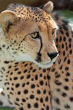Cheetah. Close up face portrait of wild cheetah royalty free stock photos
