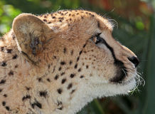 Cheetah. Close up profile face portrait of wild cheetah royalty free stock photography