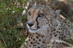 Cheetah - close-up Royalty Free Stock Photography