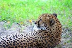 Cheetah close up Stock Image