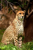 Cheetah closeup Royalty Free Stock Photo