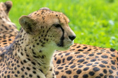 Cheetah Closeup Portrait Stock Images