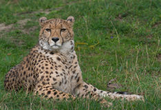 Cheetah closeup Stock Photography