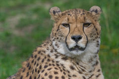 Cheetah closeup Royalty Free Stock Photography