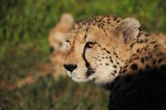 Cheetah closeup Stock Image