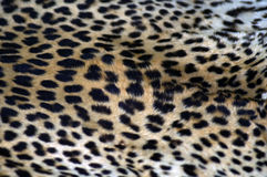 Cheetah Coat Stock Photo