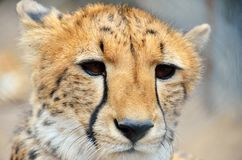 Cheetah colse-up in the Moholoholo Wildlife Rehab Centre, South Africa Stock Photography