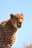 Cheetah copy space Royalty Free Stock Image