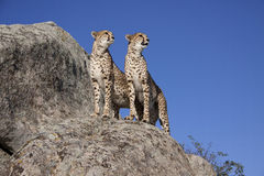 Cheetah couple Stock Images