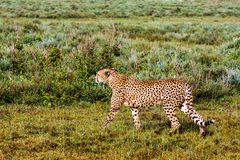 The cheetah creeps up to the prey. Serengeti, Tanzania Royalty Free Stock Photography