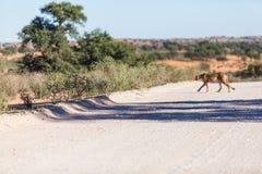 A cheetah crossing a dirt road Royalty Free Stock Photo