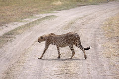 Cheetah Crossing The Road. Female cheetah crossing the road in the Serengeti national park, Tanzania Royalty Free Stock Images