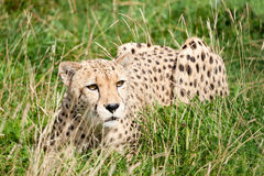 Cheetah Crouching Amongst Long Grass Stock Image