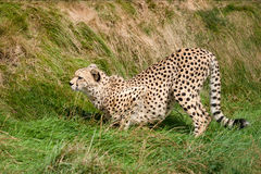 Free Cheetah Crouching In The Grass Ready To Pounce Royalty Free Stock Image - 26419176