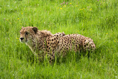 Cheetah crouching, ready to pounce Stock Photos
