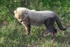 Cheetah Cub Royalty Free Stock Images