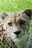 Cheetah cub. Young cheetah cub in long grass Stock Photography