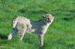 Cheetah cub Stock Image