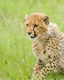 Cheetah cub Royalty Free Stock Image