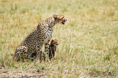 Cheetah with cub Stock Images