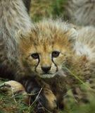 Cheetah Cub Royalty Free Stock Image